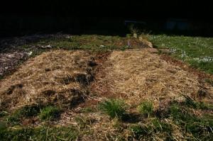 Planter des pommes de terre sous paillis