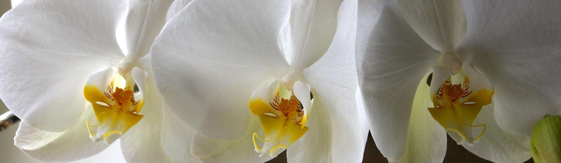 Mes orchidées